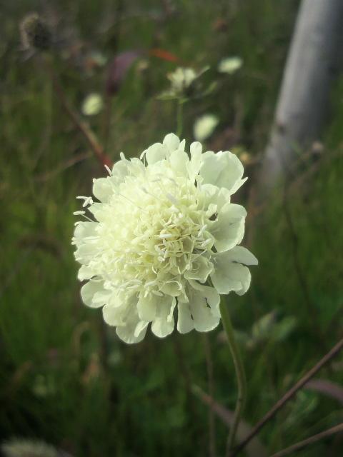 ホコリタケと花