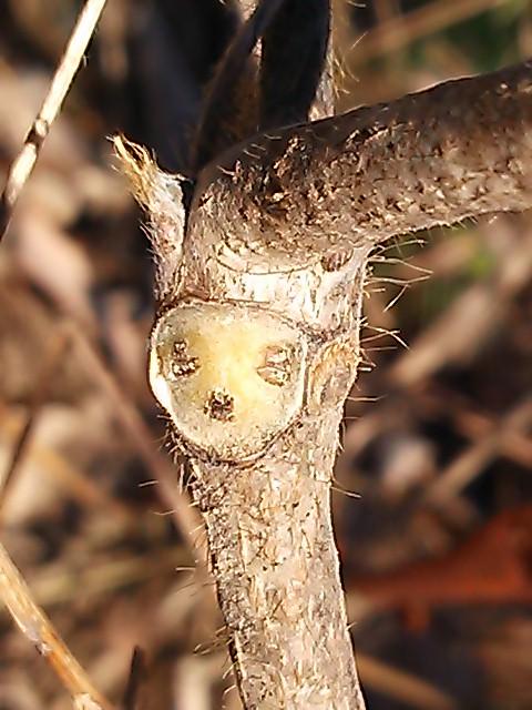 冬の顔(葉痕)
