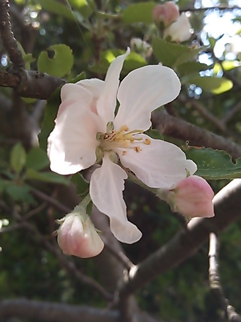 橋本不二子さんリンゴの花柄布地